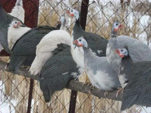 Цесарка что за птица