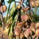 Миндаль – необычное выращивание растения