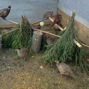 Разведение фазанов – приятное хобби или выгодный бизнес?