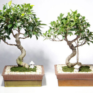 Фикус бенждамина – отличный материал для выращивания бонсай