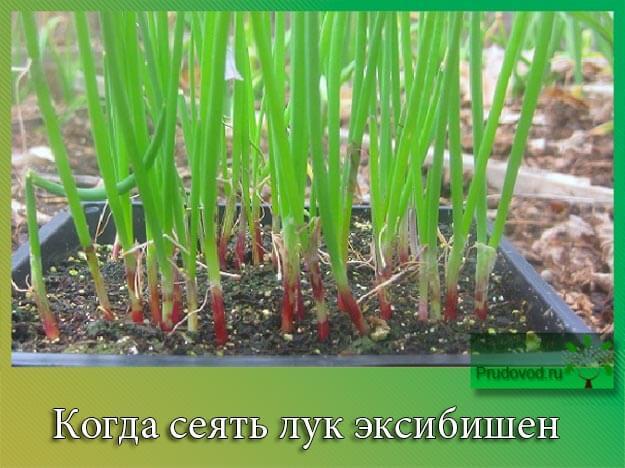 Когда сеять лук эксибишен