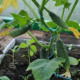 Секреты выращивания огурцов зимой в теплице