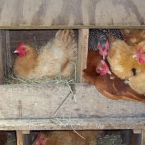 Куры дружно клюют свои яйца – как уберечь ценный продукт от пеструшек?