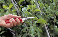 Весенняя обрезка сливы – залог большого урожая