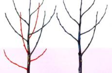 Вишня – основные правила и секреты весенней обрезки