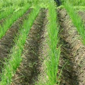 Китайский способ выращивания лука – находка для огородника