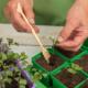 Проблемы и их решение в выращивании рассады цветной капусты