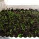 Выращивание корневого сельдерея с помощью рассады