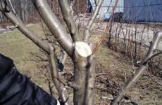Весна – пришла пора заняться обрезкой груши