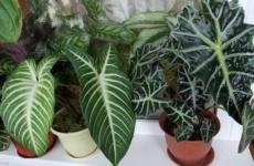 Алоказия – секреты ухода за тропической красавицей
