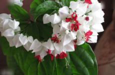 Клеродендрум – хитрости выращивания капризного кустика