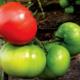Выбираем семена для открытого грунта – каким томатам отдать предпочтение?