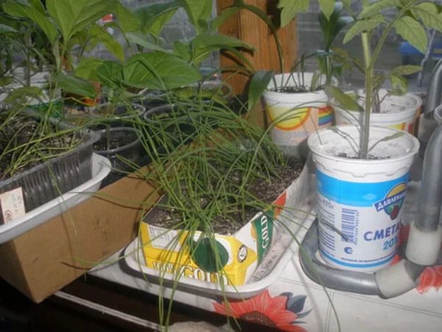 Уход за рассадой лука эксибишен