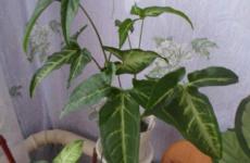 Красавец сингониум – полезные секреты выращивания