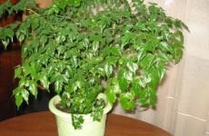 Роскошная радермахера – все секреты выращивания