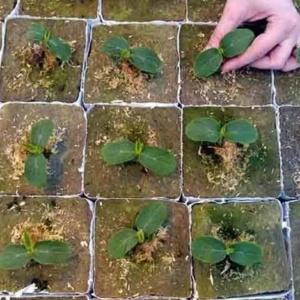 Арбузы, выращенные из рассады – залог отменного урожая
