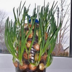 Витаминная зелень круглый год – хитрости зимнего выращивания лука на перо
