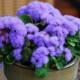 Агератум – выращиваем небесные помпончики для вашего цветника