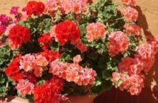 В чем секрет цветения красавицы герани и как этому способствует обрезка