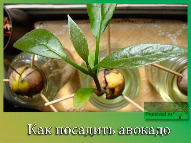 как посадить авокадо