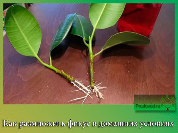 Как размножить фикус в домашних условиях