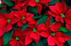 Прекраснейшая пуансеттия – от покупки до изумительного цветения