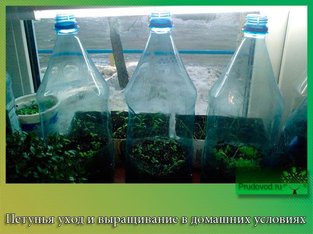 Петуния уход и выращивание в домашних условиях