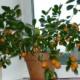 Урожай мандаринов с подоконника – все секреты ухода за чудесным деревцем