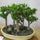 Привлекаем деньги в дом – выращиваем денежное дерево
