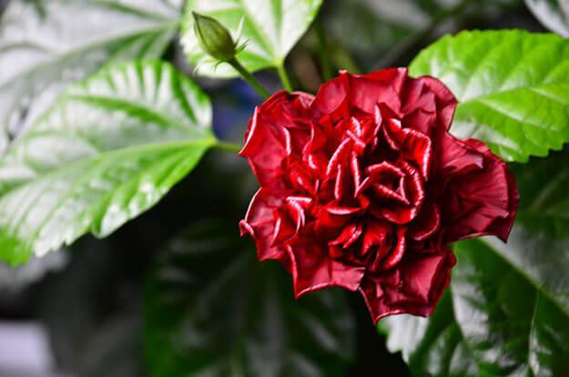 Китайская роза уход в домашних