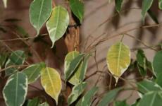 Причины сбрасывания листьев фикусом бенджамина и их исправление