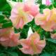 Гибискус – идеальный цветок для ленивых цветоводов