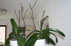 Орхидея после пышного цветения – как и что делать со стрелкой