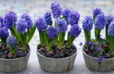 Выращивание гиацинтов, одних из прекраснейших цветов весны