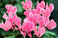 Восхитительные цикламены – длительное цветение и простота в уходе