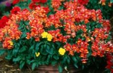 Львиный зев – все секреты выращивания замечательных цветов