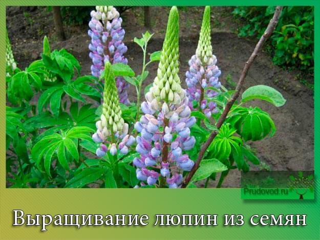 Выращивание люпин из семян