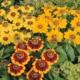 Солнечная шляпка в цветнике – выращивание рудбекии