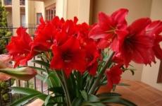 Гиппеаструм – все секреты успешного выращивания цветка