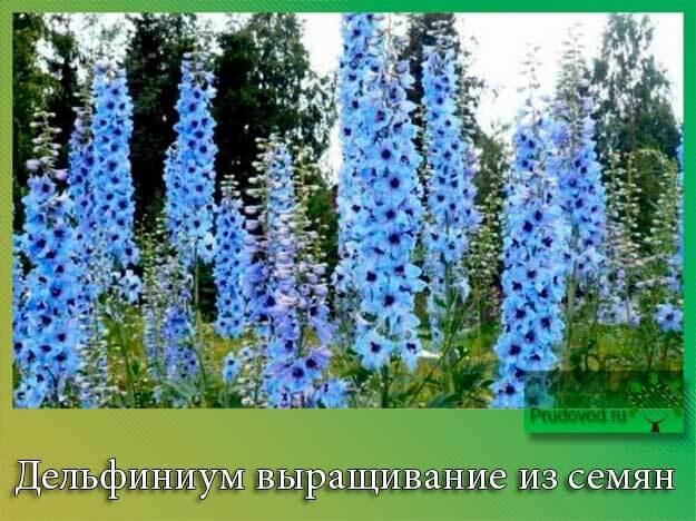 Дельфиниум выращивание из семян