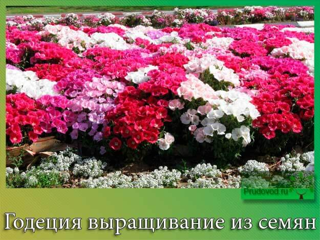 Годеция выращивание из семян