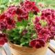 Красавица пеларгония – все секреты и хитрости пышного цветения