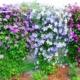 Каскад из клематисов – полезные хитрости для успешного выращивания растения