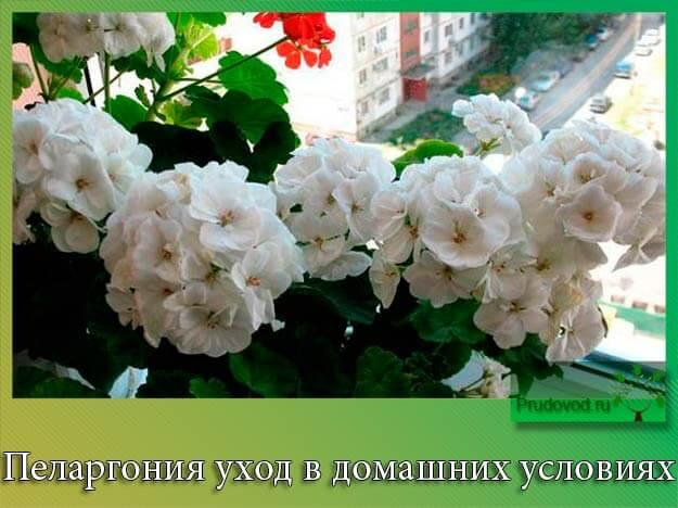 pelargoniya-uhod-v-domashnih-usloviyah