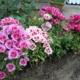 Выращивание годеции – от крохотного семечка до роскошного цветения