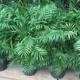 Тропики в вашей квартире – выращиваем восхитительную хамедорею