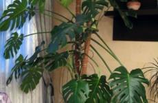 Монстера – простые правила выращивания шикарного гиганта