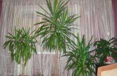 Изысканная юкка – все секреты ухода за тропической красавицей