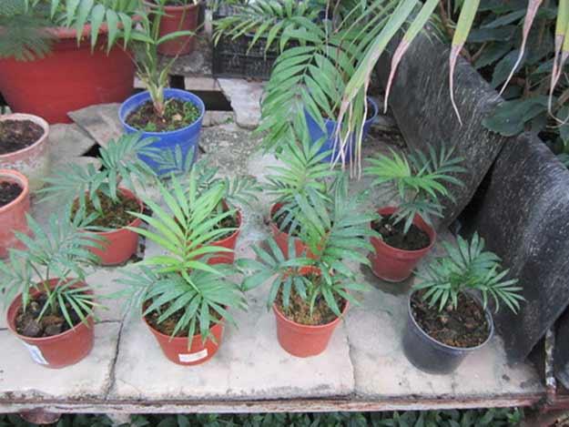 Хамедорея из семян в домашних условиях