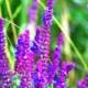 Шалфей – интересные свойства растения